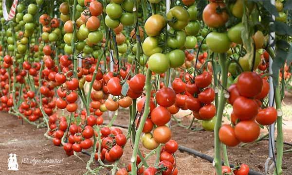 Tomate-Cosmostar-de-Tomatech-5